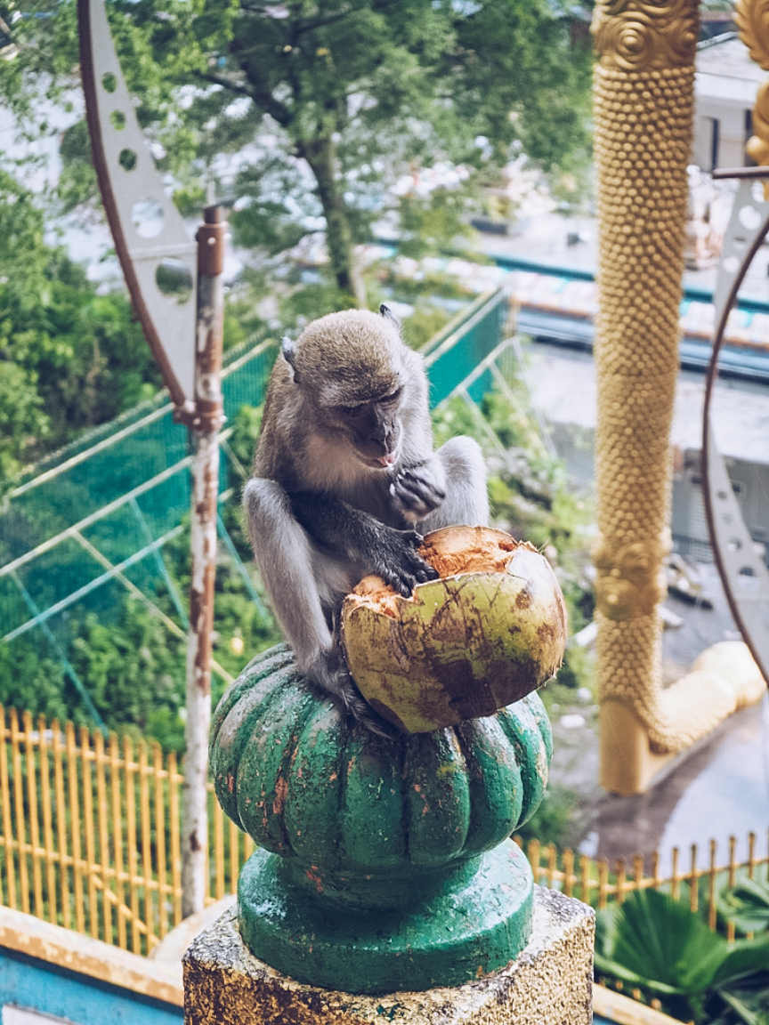 Monkey eating coconuts