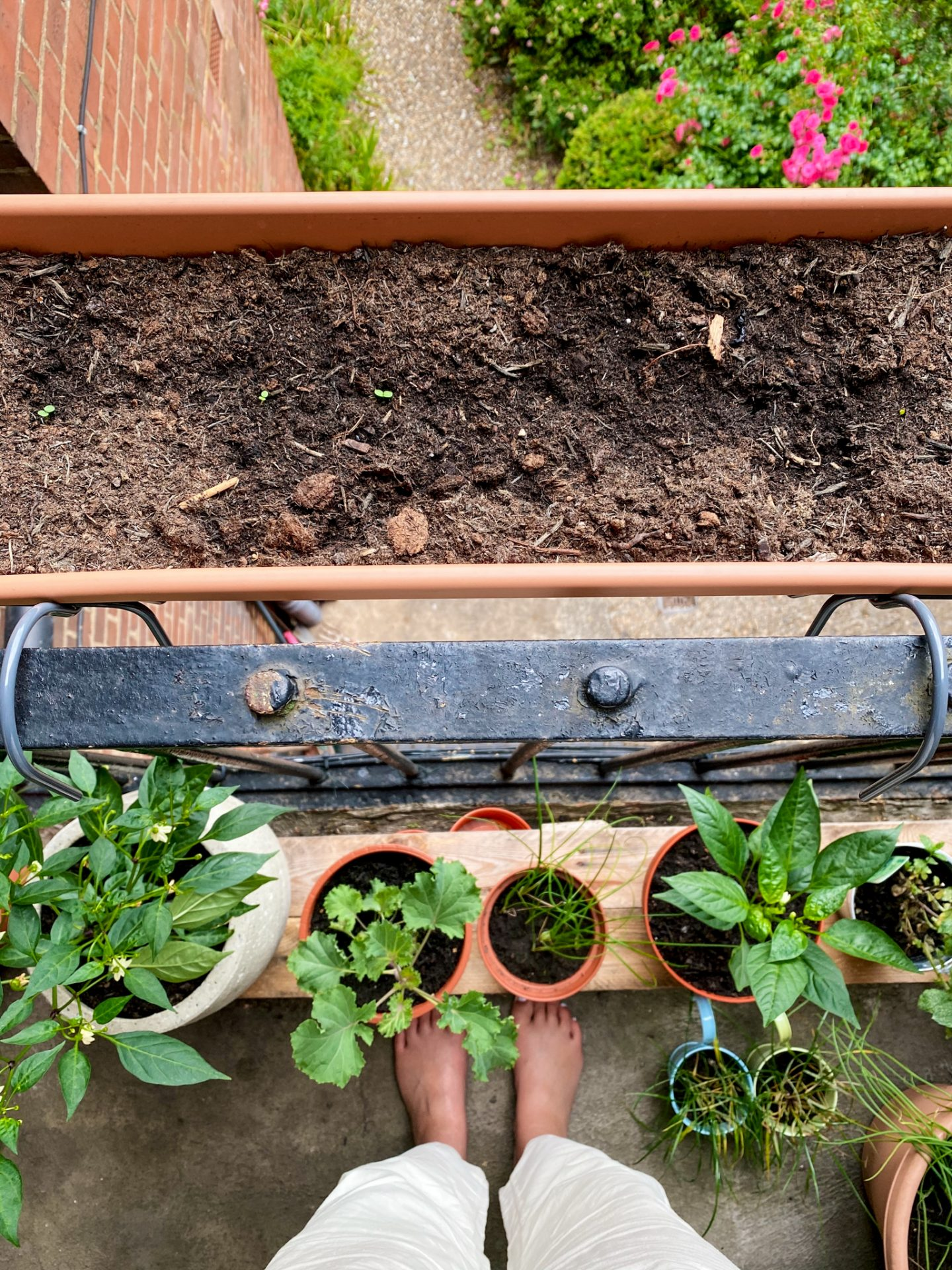 looking down at a window box with small seedlings starting to show, underneath are a number of green plants and charlie's feet are visible